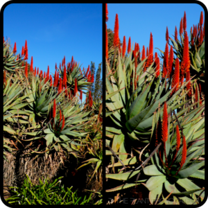 Aloe-ferox-profile