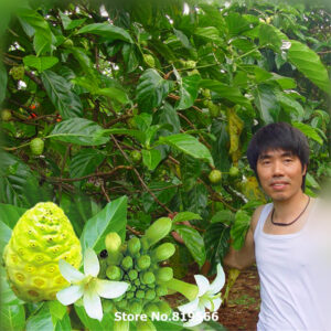 Real-Morinda-Citrifolia-Tree-Seeds-font-b-Noni-b-font-font-b-Fruit-b-font-Tree