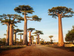 baobab(1)